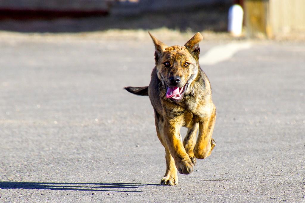 Rez dog runs towards a free meal.