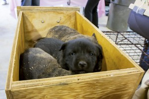 Pups surrendered to RezDawg Rescue clinic in Pinehill, NM