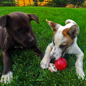 Gertie quickly became one of the pack - as a foster. Then she became one of the pack, forever.